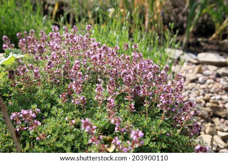 Breckland thyme, wild thyme in eco -friendly backyard formal garden, vegetable garden. Herbarium.  - stock photo