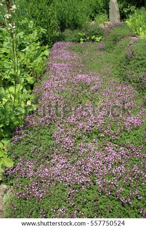 Breckland thyme, wild thyme on the stone wall. Decorative path with natural stone. The garden composition.