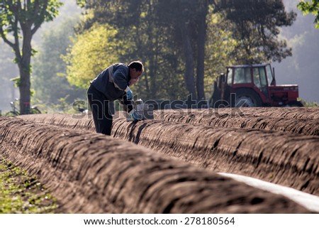 BREDA, NETHERLANDS - MAY 13: People harvesting asparagus, white summer vegetable, in spring in the farm field on a sunny early morning,  on May 13, 2015, in Breda, Netherlands - stock photo
