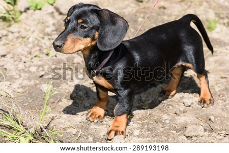 breed dachshund dog is at home on carpet - stock photo