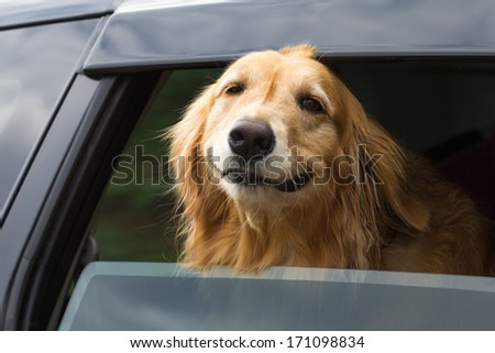 Breed Golden Retriever River filed out of the car window. - stock photo
