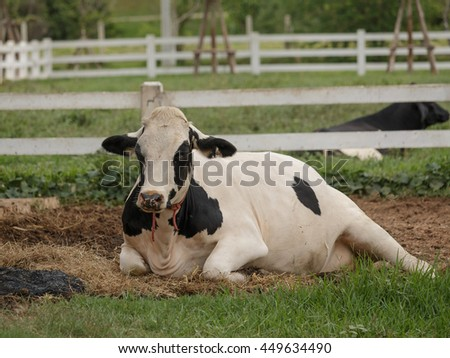 Breeder cow are pregnant and resting after grazing. Cow milk are fed in open systems to get milk and a lot of quality.  - stock photo