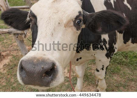 Breeder cow (closeup face) are pregnant and resting after grazing. Cow milk are fed in open systems to get milk and a lot of quality.  - stock photo