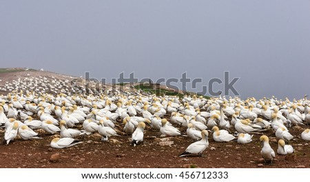 Breeding Colony of Northern Gannets