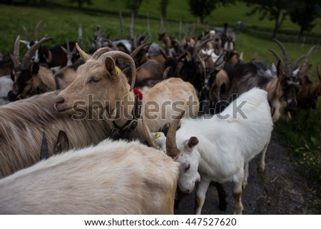 breeding for dairy goats and sheep meat northern Apennines