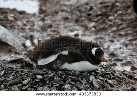 breeding gentoo penguin