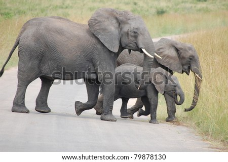 Breeding herd of African Elephant (Loxodonta africana) crossing the road in Kruger National Park, South Africa - stock photo