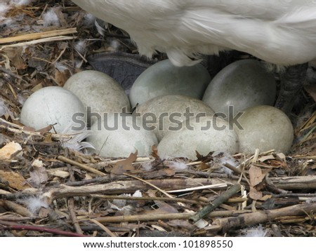 Breeding Mute Swan (Cygnus olor) with 8 eggs in the nest - stock photo