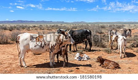 breeding nguni cows a traditional breed of cattle for the african stock farmers - stock photo