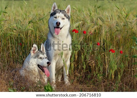 Breeding pair of purebred dogs for a walk. Siberian Husky. - stock photo