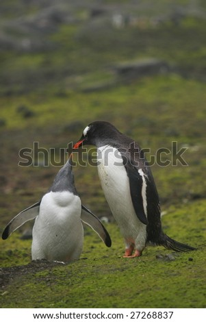 Breeding the gentoo penguin chick - stock photo