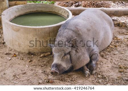 Breeding wild boar farm - stock photo