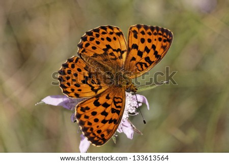 Brenthis daphne, Marbled Fritillary from Southern Europe