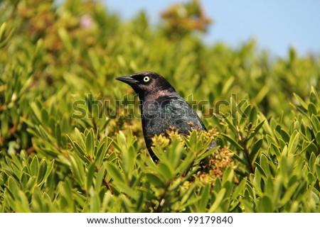 Brewer's Blackbird (Euphagus cyanocephalus) - stock photo