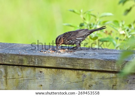 Brewer's Blackbird is sitting on wood desk - stock photo