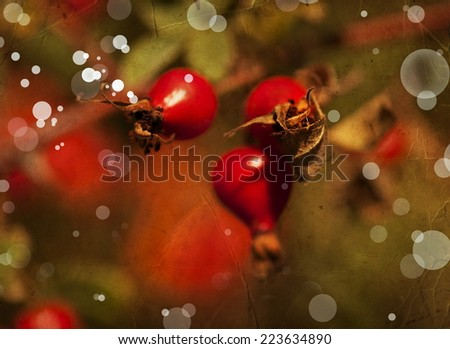 Briar, wild rose hip shrub in nature, branch of ripe rose hip berries in autumn garden - stock photo