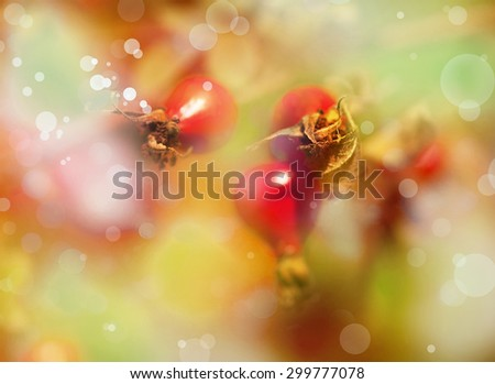 Briar, wild rose hip shrub in nature, branch of ripe rose hip berries in autumn garden - stock photo