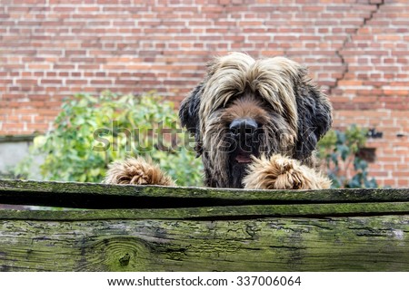 Briard male looking over a wooden fence / dog / Briard