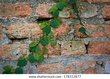 Brick wall with climbing fig tree