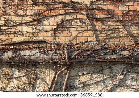Brick wall with weathered dry creeper plant. - stock photo