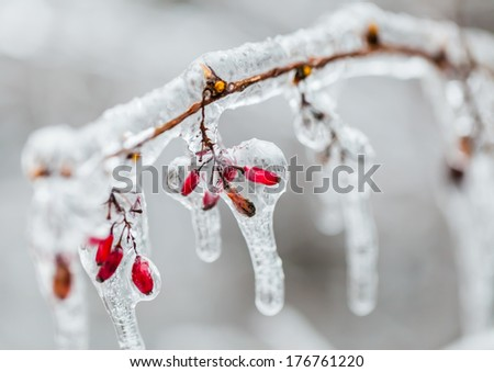 Brier branch covered with ice after freezing rain in Ljubljana, Slovenia. - stock photo