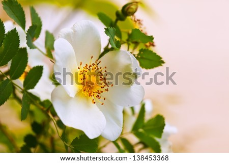 brier  flower against blur  spring foliage background - stock photo