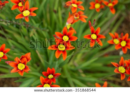 Bright and attractive Harlequin flower (Sparaxis tricolor) - stock photo
