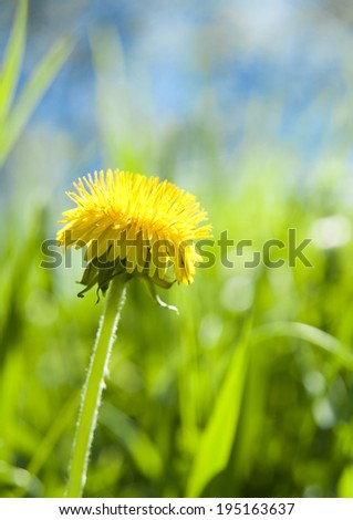 Bright and colorful dandelion