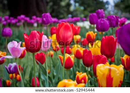 Bright and colorful tulips flower blooming in a park - stock photo