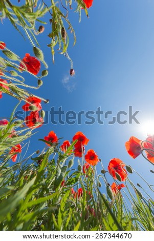 Bright and lush field with colorful red poppies and green grass with a blue sky in the background and sunshine  - stock photo