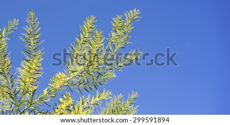 Bright Australian spring background with Acacia fimbriata, Golden Wattle, yellow fluffy flowers in bloom against blue sky - stock photo