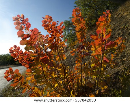 bright autumn bush smoke tree by the roadside, Cotinus, 'Flame' grade