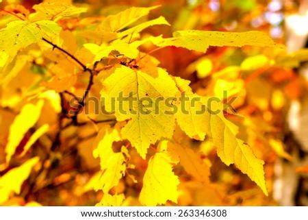 Bright autumn foliage closeup - stock photo