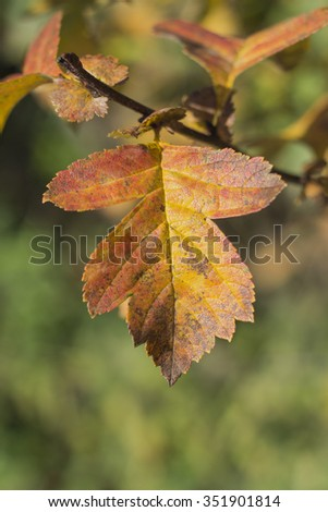 Bright autumn leaf hawthorn in soft background - stock photo