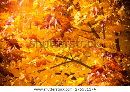 Bright autumn leaves in the natural environment. Fall maple trees, yellow orange nature background - stock photo