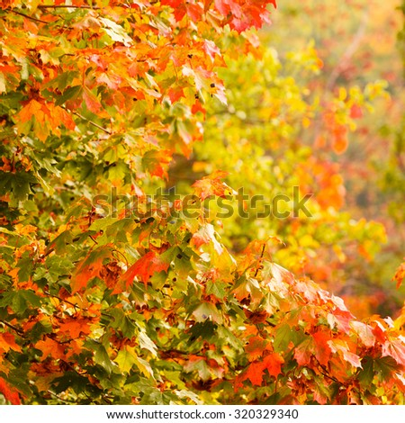 Bright autumn leaves in the natural environment. Fall trees yellow orange nature background. Square format - stock photo