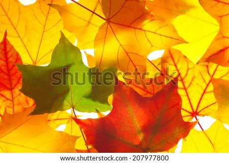 bright autumn red yellow and green transparent  maple leaves as background  - stock photo