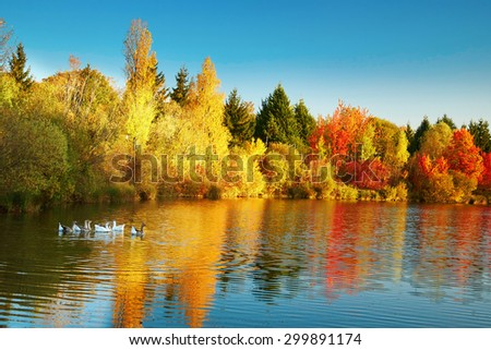 Bright autumn trees with their reflection in water and floating flock of geese