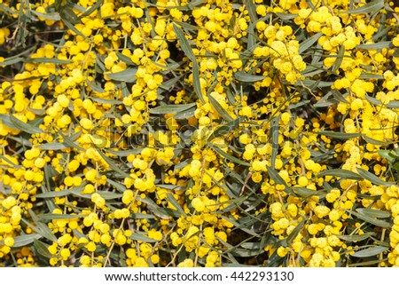 Bright background of yellow mimosa flowers - stock photo