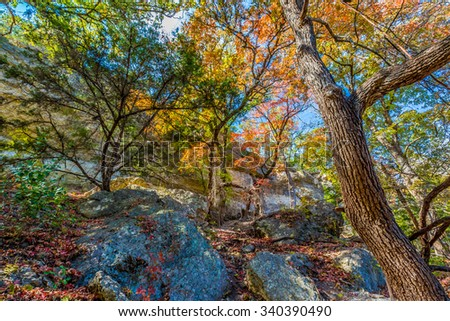 Bright Beautiful Fall Foliage on Stunning Maple Trees in Lost Maples State Park, Texas. - stock photo