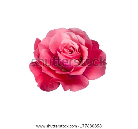 bright beautiful  pink rose is on a white background - stock photo