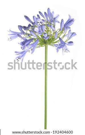 Bright blue Agapanthus flower - stock photo
