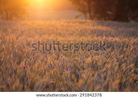 bright blue cornflowers in wheat field on colorful sunset  - stock photo