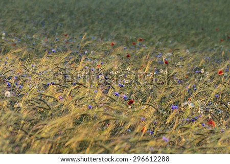 bright blue cornflowers in wheat field - selective focus - stock photo