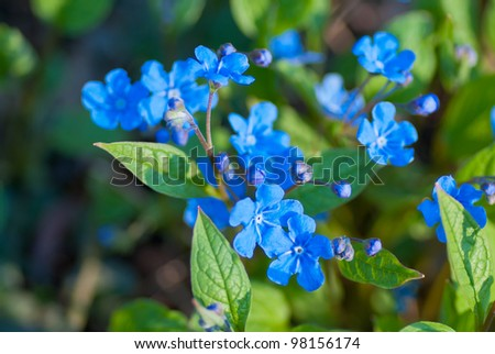 Bright blue flowers named blue eyed mary in flowerbed in - What are blue roses called ...