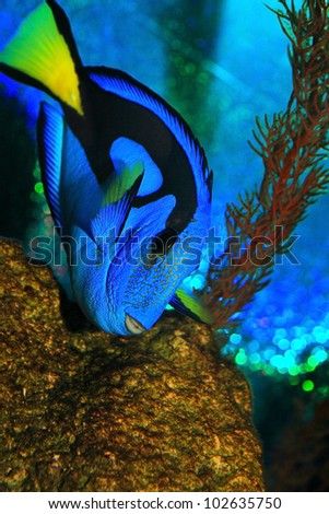 bright blue regal tand fish in tropical aquarium - stock photo