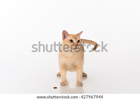 Bright Brown Burmese cat with food. Open Mouth. Isolated on white background - stock photo