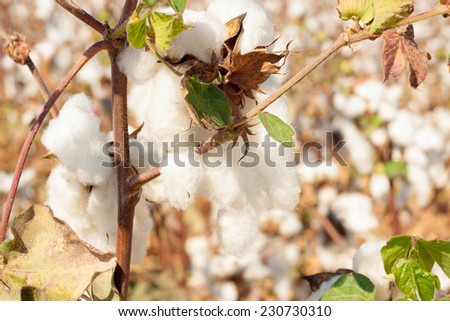 Bright bud with a leaves of cotton on a field - stock photo