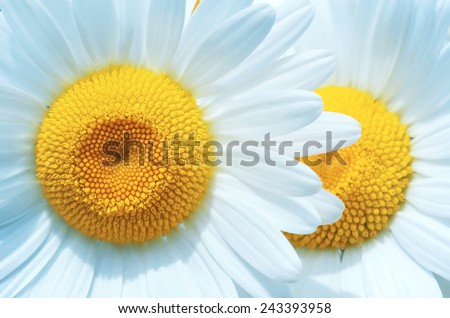 Bright camomiles close up - stock photo