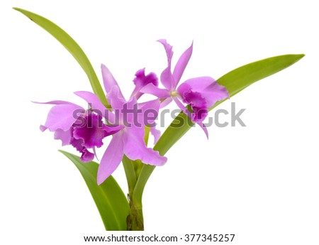 bright cattleya orchid flowers isolated on white background